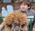 Hannah-Farm-Alpaca-2