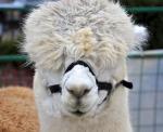 Hannah-Farm-Alpaca